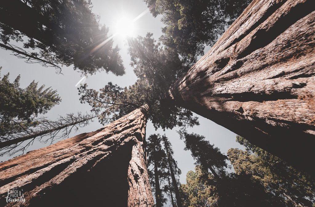 Messagère des Séquoias Géants